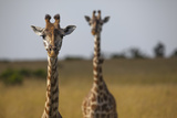 Two Giraffes (Giraffa Camelopardalis) Photographic Print by Regis Vincent