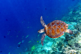 Sea Turtle Reprodukcja zdjęcia autor Shan Shui