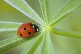 Seven Spot Ladybird (Coccinella Septempunctata) Photographic Print by Cornelia Doerr