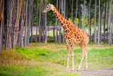Giraffe Photographic Print by Daniel Stoychev Photography