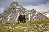 Yak - near Kailash Fotografisk tryk af Reinhard Goldmann