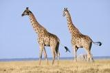 Giraffe (Giraffa Camelopardalis) Pair on the Bushveld Plain Photographic Print by Peter Lillie
