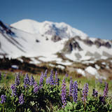 Lupine Wildflowers and Snowy Mountain Photographic Print by Danielle D. Hughson
