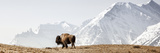 Buffalo (American Bison) Walks along Grassy Slope Fotografisk tryk af Ascent Xmedia
