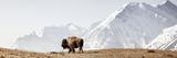 Buffalo (American Bison) Walks along Grassy Slope Reprodukcja zdjęcia autor Ascent Xmedia