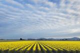 Skagit Valley Daffodils Photographic Print by Alan Majchrowicz