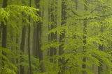Beech Forest (Fagus Sylvatica), Fresh Green Leaves, Fog after Heavy Rain, Spessart, Bavaria, German Photographic Print by Berndt Fischer