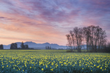Skagit Valley Daffodils Photographic Print by Alan Majchrowicz