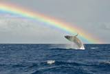 Humpback Whale Rainbow Breach Photographic Print by share your experiences