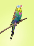 Neon Rainbow Coloured Budgie with 3D Glasses Photographic Print by Michael Blann
