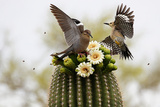 Dove and Woodpecker on Blooming Saguaro Cactus Papier Photo par  barbaracarrollphotography