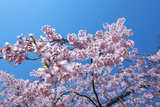 Cherry Blossoms and Sky Photographic Print by Tetsuo Wada/Aflo