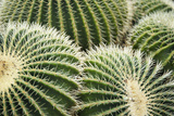 Barrel Cacti (Echinocactus Grusonii) Photographic Print by Liz Whitaker