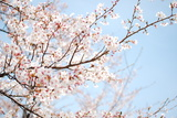 Sakura Photographic Print by Hector Garcia @kirai