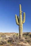 Usa, Arizona, Phoenix, Saguaro Cactus on Desert Photographic Print by Bryan Mullennix