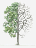 Illustration Showing Shape of Deciduous Acer Heldreichii (Heldreich's Maple) Tree with Green Summer Photographic Print by Dorling Kindersley