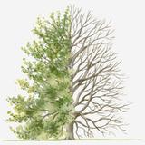 Illustration Showing Shape of Deciduous Carpinus Orientalis (Oriental Hornbeam) Tree with Green Sum Photographic Print by Dorling Kindersley