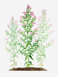 Illustration of Epilobium Hirsutum (Great Willowherb), Stems of Pink Flowers Photographic Print by Dorling Kindersley