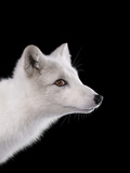 Studio Portrait of a Young Male Arctic Fox Photographic Print by Brad Wilson
