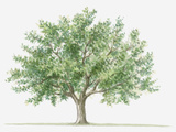 Illustration of Small Evergreen Pistacia Lentiscus (Mastic) Tree Photographic Print by Dorling Kindersley