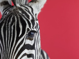 Portrait of Male Zebra Photographic Print by Brad Wilson