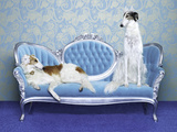 Two Borzoi (Canis Lupus Familiaris) on Couch. Photographic Print by Catherine Ledner