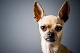 LLAMA DOG Photographic Print by Laura Layera