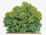 Illustration of Alchemilla Mollis (Lady's Mantle) Bearing Clusters of Chartreuse Flowers and Large Photographic Print by Dorling Kindersley