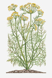 Illustration of Anethum Graveolens (Dill) Bearing Yellow Flowers on Tall Stems with Finely Divided Photographic Print by Dorling Kindersley
