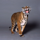 Bengal Tiger Photographic Print by Toby Maudsley