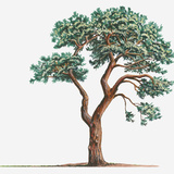 Illustration of Pinus Sylvestris (Scotch Pine) Evergreen Coniferous Tree Photographic Print by Matthew Ward