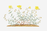 Illustration of Helianthemum Nummularium (Common Rock-Rose), Leaves and Yellow Flowers Photographic Print by Elizabeth Rice