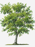 Illustration of Evergreen Annona Muricata (Soursop) Tree Bearing Green Fruit Photographic Print by Sue Oldfield