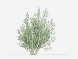 Illustration of Erica Arborea (Tree Heath) Bearing Small White Flowers and Green Leaves Photographic Print by Dorling Kindersley