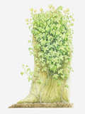 Illustration of Hedera Helix (Ivy) Growing on a Tree Trunk Photographic Print by Helen Senior