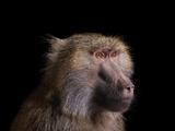 Studio Portrait of a Female Baboon Photographic Print by Brad Wilson