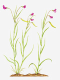 Illustration of Lathyrus Nissolia (Grass Vetchling), Pink Flowers on Slender Stems Photographic Print by Dorling Kindersley