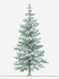 Illustration of Evergreen Picea Pungens (Blue Spruce) Tree Photographic Print by Dorling Kindersley
