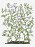 Illustration of Galega Officinalis (Goat's Rue) with Lilac Flowers on Tall Stems with Small Leaves Photographic Print by Evelyn Binns
