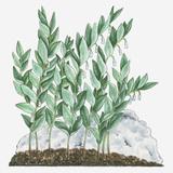 Illustration of Polygonatum Odoratum (Angular Solomon's Seal) Bearing White Flowers Hanging from Be Photographic Print by Debra Woodward