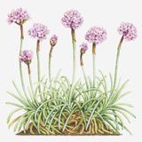 Illustration of Armeria Maritima (Thrift, Sea Pink), Leaves and Clusters of Pink Flowers Photographic Print by Dorling Kindersley