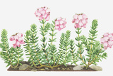 Illustration of Erica Tetralix (Cross-Leaved Heath), Pink Flowers Photographic Print by Dorling Kindersley