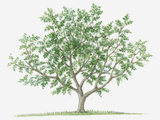 Illustration of Small Deciduous Pistacia Terebinthus (Turpentine Tree) Bearing Green Leaves Photographic Print by Dorling Kindersley
