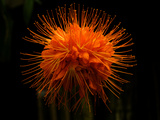 Flower from a Brownea Macrophylla Tree, Costa Rica Photographic Print by Pete Starman