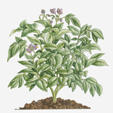 Illustration of Solanum Tuberosum (Potato) Bearing Purple Flowers with Yellow Stamen and Green Leav Photographic Print by Dorling Kindersley