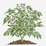 Illustration of Solanum Tuberosum (Potato) Bearing Purple Flowers with Yellow Stamen and Green Leav Photographic Print by Dorling Kindersley
