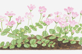 Illustration of Anagallis Tenella (Bog Pimpernel), Leaves and Pink Flowers Photographic Print by Dorling Kindersley