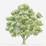 Illustration Showing Shape of Quercus Coccifera (Kermes Oak) Tree Bearing Green Foliage Photographic Print by Dorling Kindersley