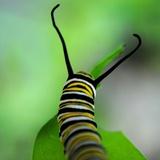 Monarch Caterpillar Photographic Print