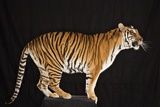 Tiger Standing on Platform Photographic Print by Darryl Estrine
